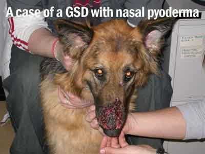 A-case-of-a-GSD-with-nasal-pyoderma